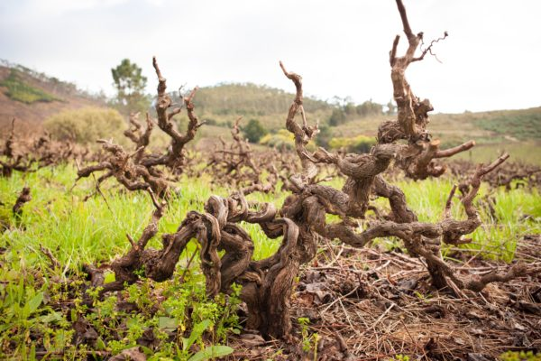 old-vines-wosa