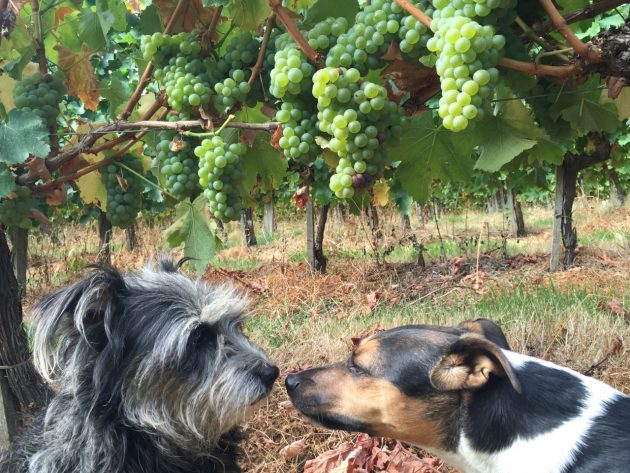 Even the Quinneys dogs, Margaux and Pavie, know the 2016 vintage is going to be a belter