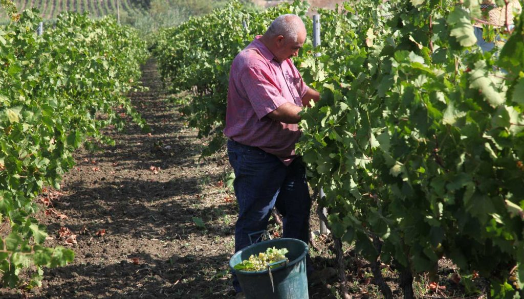 The Sicilian wine harvest was down up to 20% in some regions