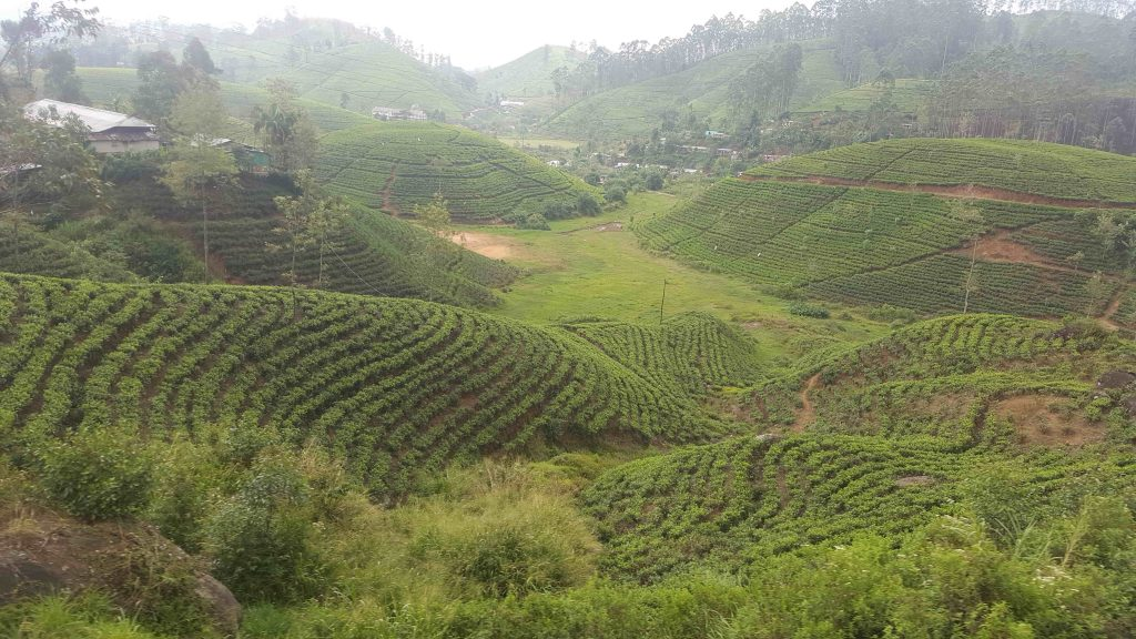 The rolling tea fields...