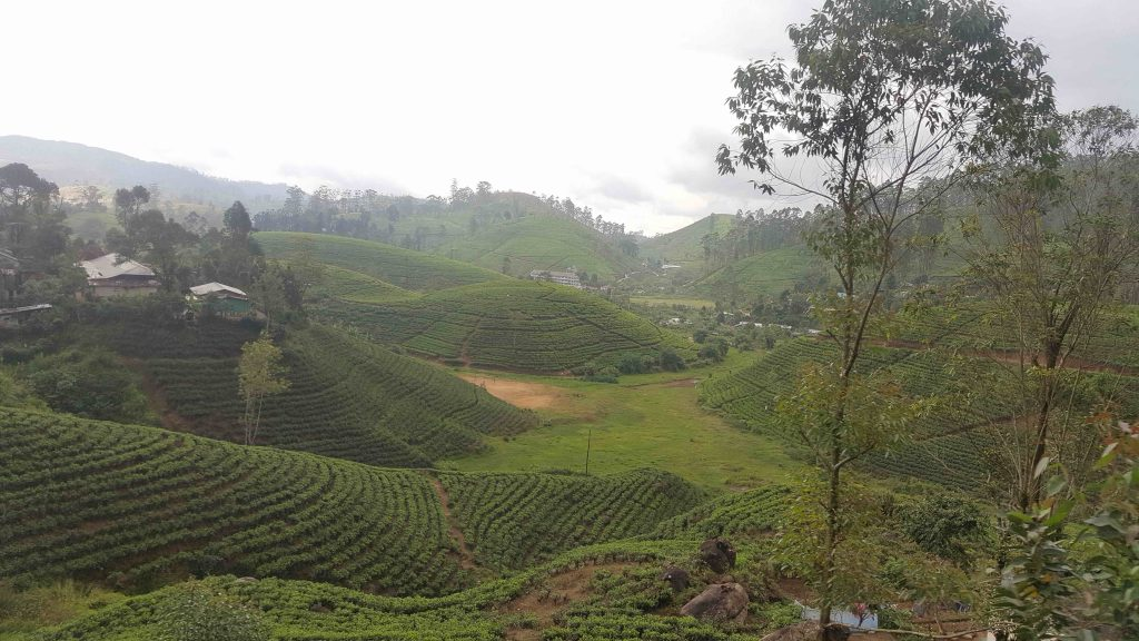 tea-fields-3