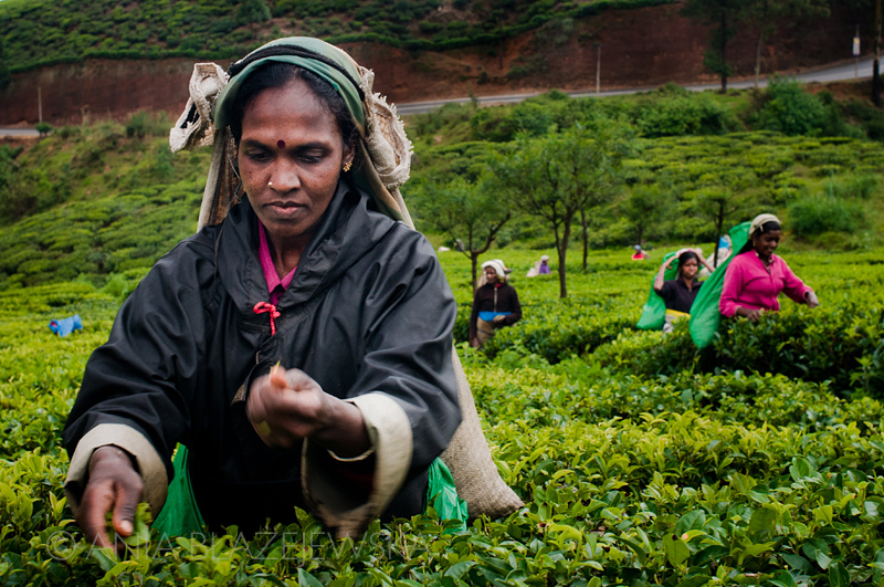 The age of some of the workers in the tea fields has been questioned