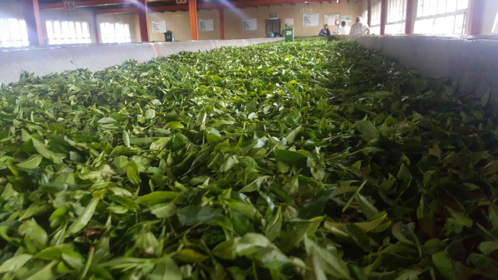 Racking...the tea leaf way. All leaves are carefully hand picked
