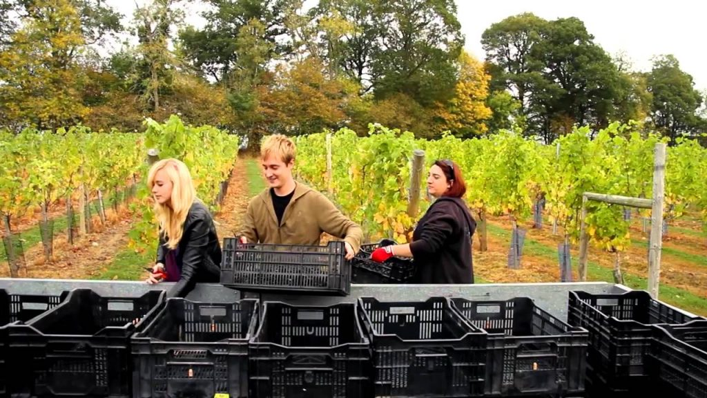 Plumpton College students working in the school's own vineyards