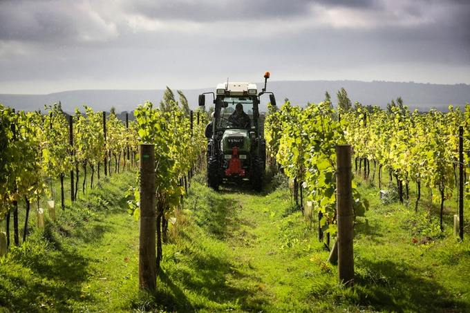 The exceptionally hot summer has led to high hopes amongst English wine producers of a bumper crop this year
