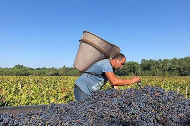 Bordeaux's 2018 grape harvest saw yields return to the norm, helped by a long hot summer