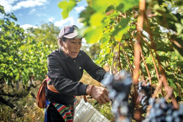 china grape picker