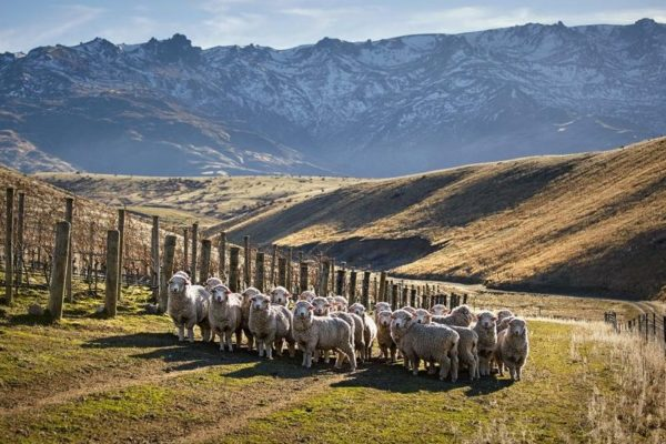 sheep new zealand