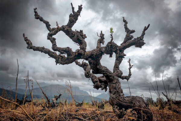 Andrea Mullineux believes South Africa's Old Vine Project is a another vital calling card it needs to make even more as part of its international story