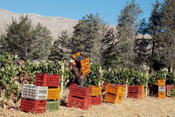 Lebanon's hard climate means producers have to be careful which varieties they work with