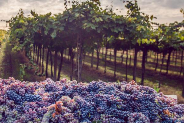 grapes-vines