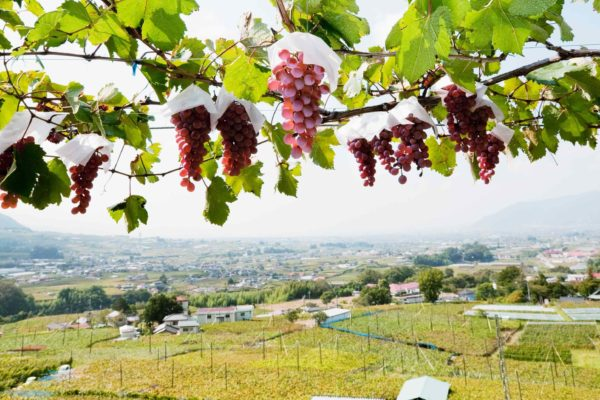 koshu vineyard lead