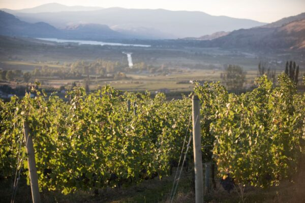 Iconic Wineries is working hard to make all its vineyards organic, in step with what is happening across the Okanagan Valley