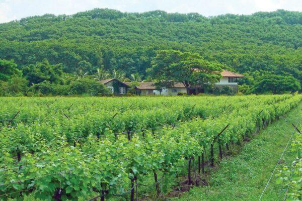 india vineyard