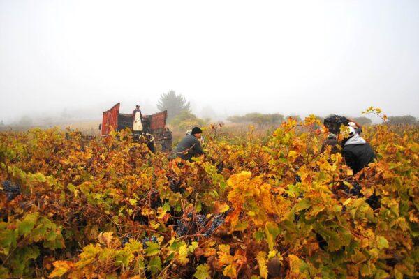 itate Harvest at Viña Prado